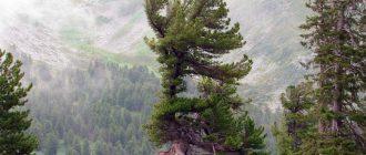Сибирская сосна, кедр