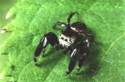бродячие пауки