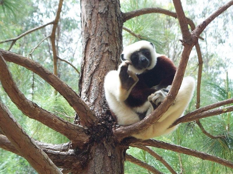 Лемуры обитают на Мадагаскаре