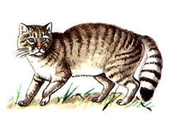 Кавказская Лесная Кошка