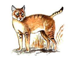 Кавказский Камышовый Кот