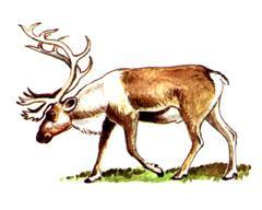 Северный Олень, лесной подвид