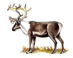 Северный Олень, новоземельский подвид