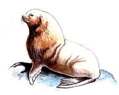 Сивуч (северный Морской Лев)