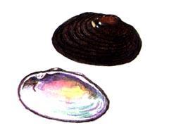 КУРИЛЬСКАЯ ЖЕМЧУЖНИЦА Dahurinaia kurilensis