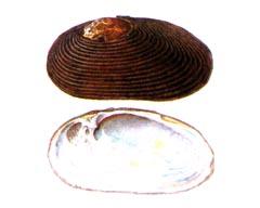 Приморская Жемчужница (Dahurinaia sujfunensis)