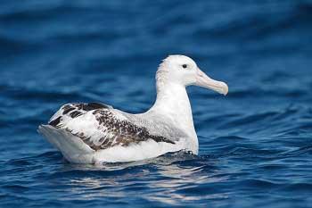 Белоспинный Альбатрос