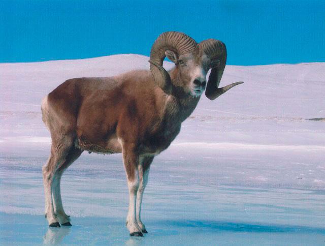 Алтайский заповедник - Аргали