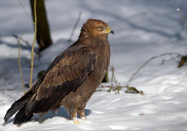 Малый подорлик -Aquila pomarina